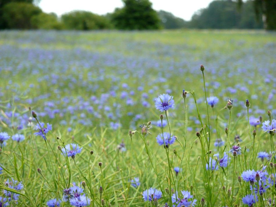 Field Crocus Summer Fields Of Green Animals In The Wild Summer Meadow Cornfield Grass Summer Fields Garden Cornflower Plant Bachelor Buttons Purple Outdoors Pollination BlueBottle Beauty In Nature Flower Head Blooming Focus On Foreground One Animal Nature Cornflowers Cornflower Lavender Flower