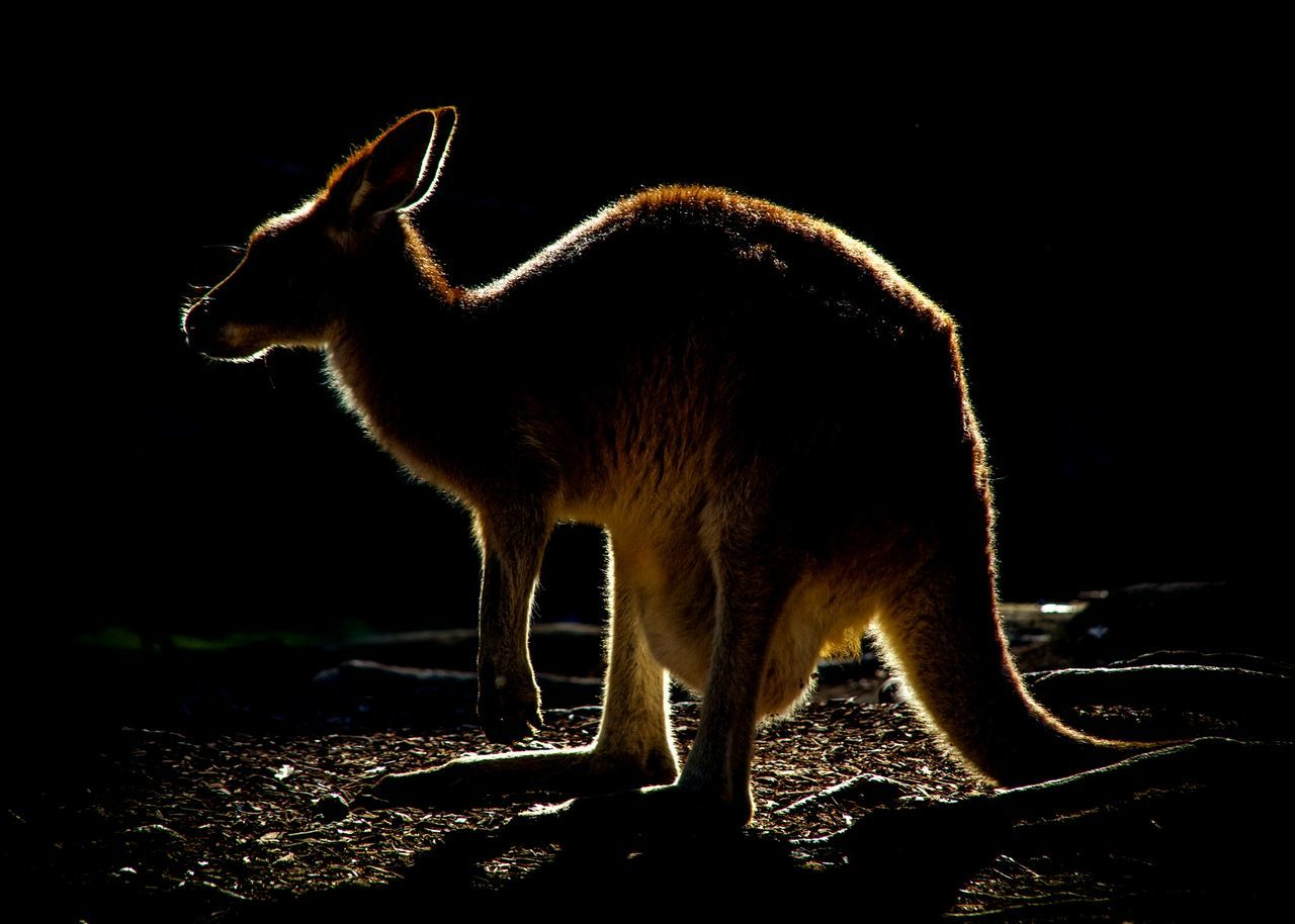 Beautiful stock photos of kangaroo, Animal Themes, Animals In The Wild, Close-up, Forest