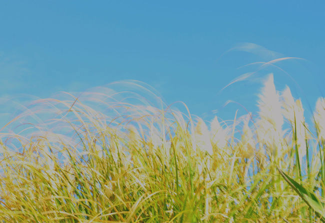 Blowing in the wind Beauty In Nature Blue Sky Blurred Motion Capturing Motion Capturing Movement Clear Sky Low Angle View Motion Motion Blur Movement Moving Nature Outdoors Reeds Sky