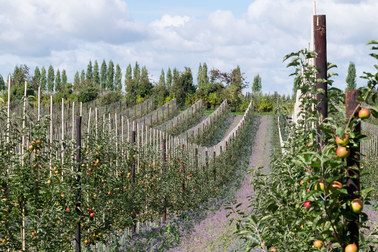 Arable farming: rows of fruit trees with apples in foreground Agriculture Agriculture Beauty In Nature Cloud - Sky Day Field Food Production Fruit Trees Green Color Growth Landscape Modern Farming Modern Farming Methods Nature No People Orchard Outdoors Plant Rural Scene Scenics Sky Tree