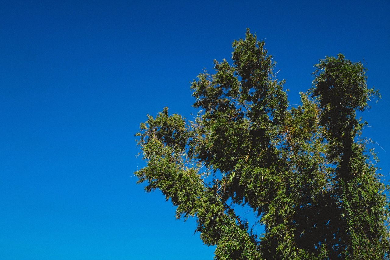 Monday hates you too. Tree Treetops Bamboo Leaves Branch Low Angle View Clear Sky Growth Blue Green No People Outdoors Day Sky Skyscape Blue Sky Tropical Nature Nature Photography Nature_collection Nature_perfection Beauty In Nature VSCO