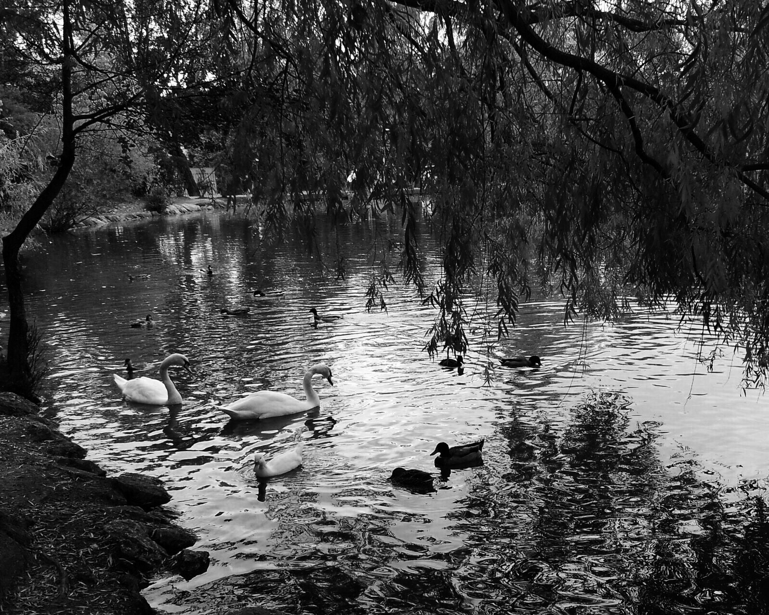 water, nature, lake, bird, reflection, no people, animal themes, tree, animals in the wild, outdoors, floating on water, swimming, beauty in nature, day, swan