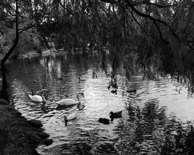 Nature Nature_collection Nature Photography Swans Blackandwhite Photography Blackandwhite Eye4black&white  Black & White Black And White Bw_collection Iphonephotography Iphoneonly IPhoneography Iphonesia Animal Themes Landscape EyeEm Gallery TheWeekOnEyeEM Landscape_photography
