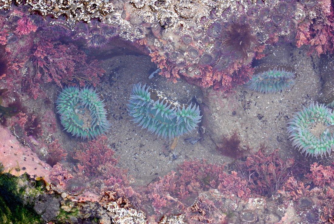 Anenome Anenomes Coastal Life Natura Newport Oregon Oregon Coast Salt Water Pool Sand & Sea Sea Life Tidepools Water