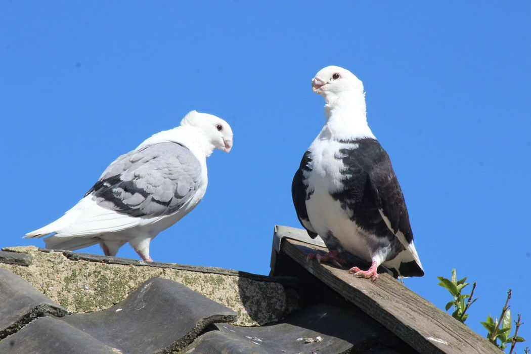 Love Is In The Air Noedit Pigeons Duiven Telephoto