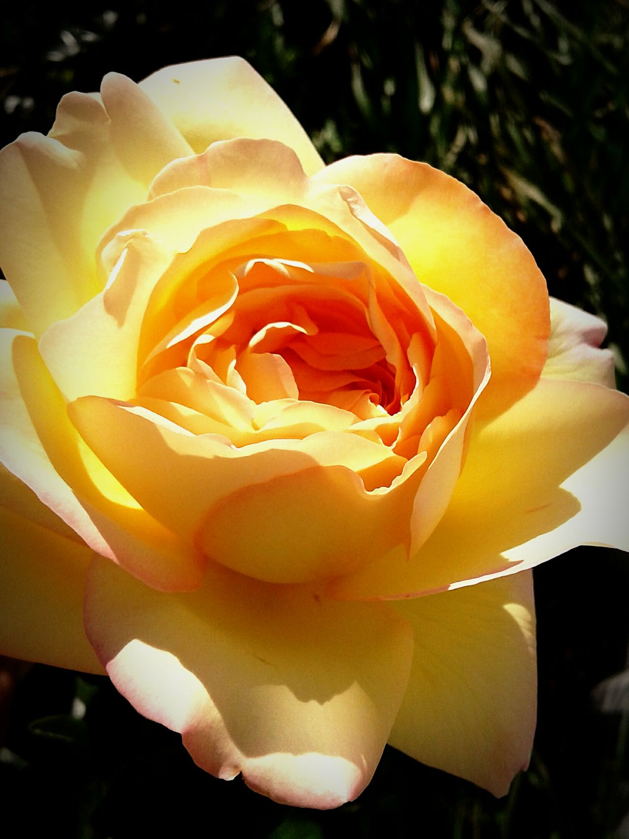 Flower Rose - Flower Petal Nature Flower Head Plant Beauty In Nature Outdoors Close-up Freshness Fragility No People Day EyeEmNewHere Rose Garden Rose Petals Blooming Flower Flowers,Plants & Garden Flowers, Nature And Beauty Rose♥ Nature Yellow Rose