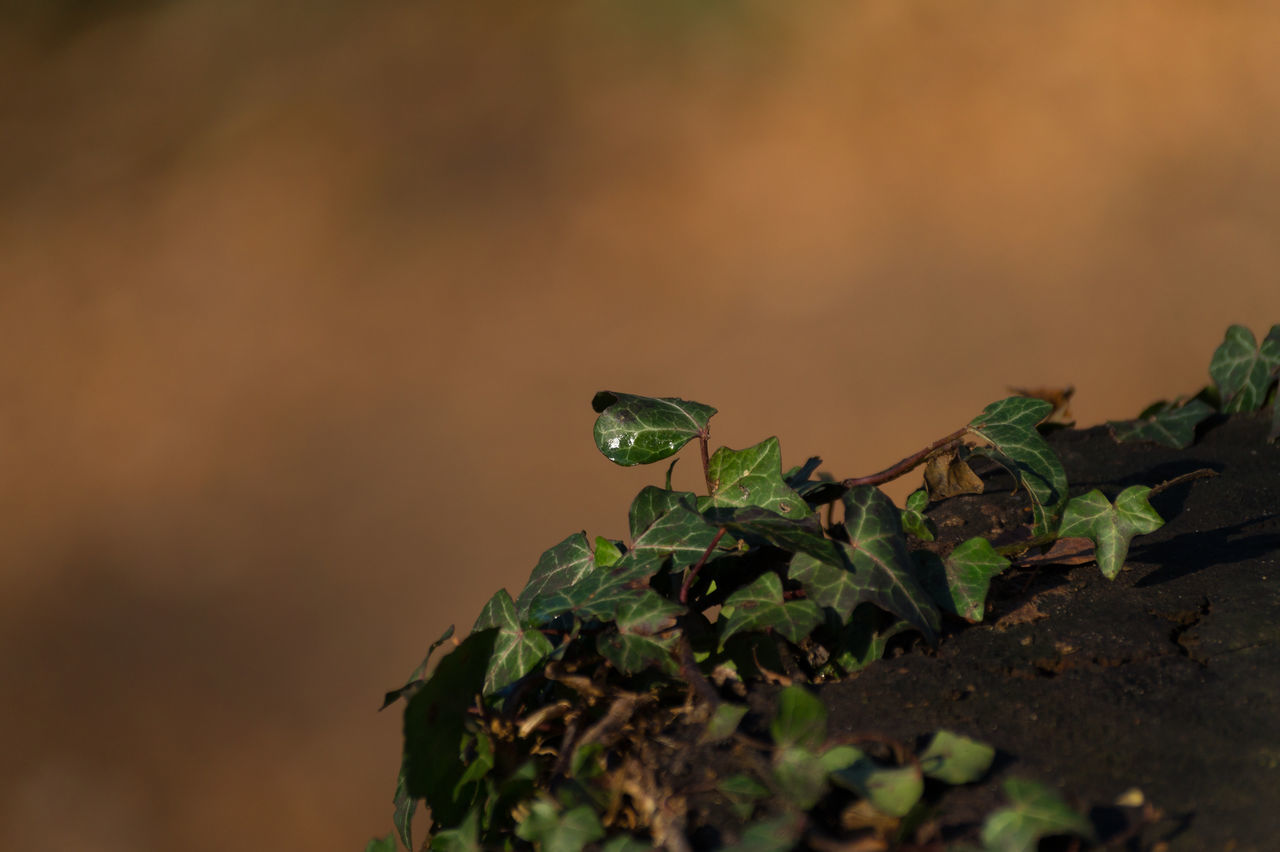 Background Beauty In Nature Close-up Evening Evening Glow Evening Light Focus On Foreground Green Green Color Green Leaf Green Leaves Ivy Ivy Leaves Nature Nature Photography Plant