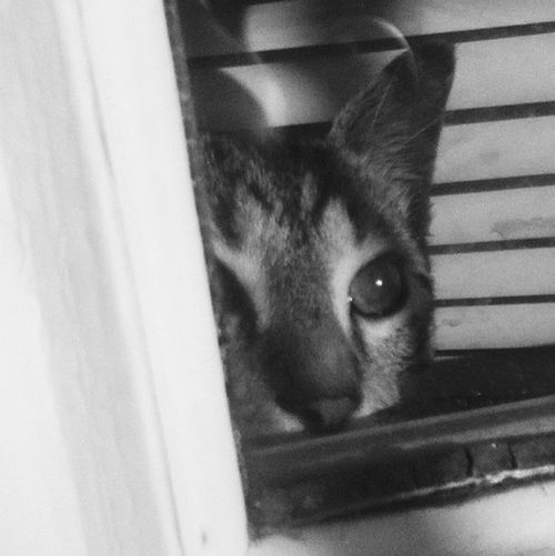 Please human, let me out! Cat Animal Rescue Pets Black & White