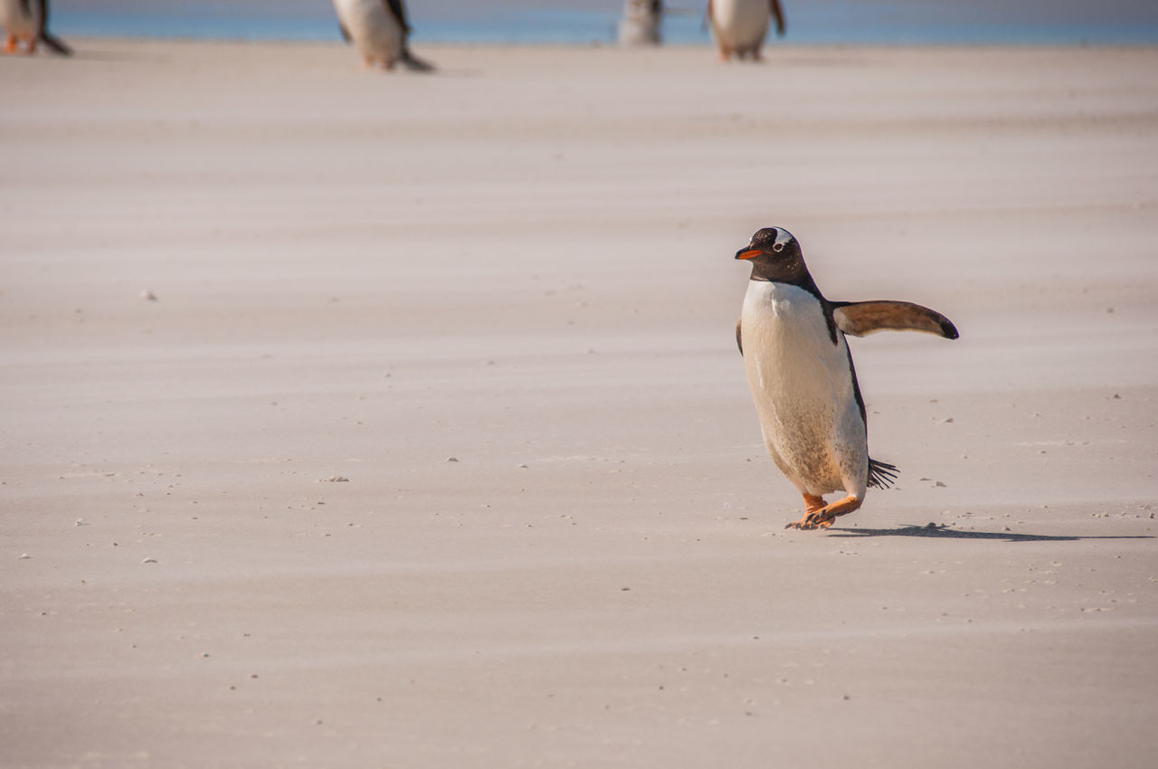 Beautiful stock photos of pinguin, Outdoors, animal Behaviour, animal Themes, animals In The Wild