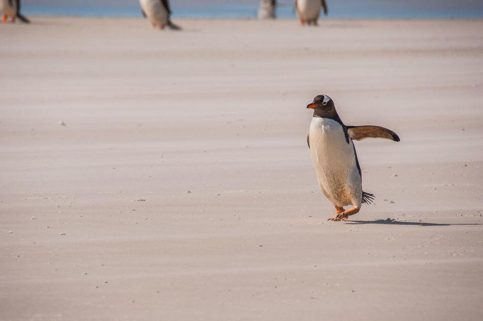 Beautiful stock photos of pinguin, Outdoors, animal Behaviour, animal Themes, animals In The Wild