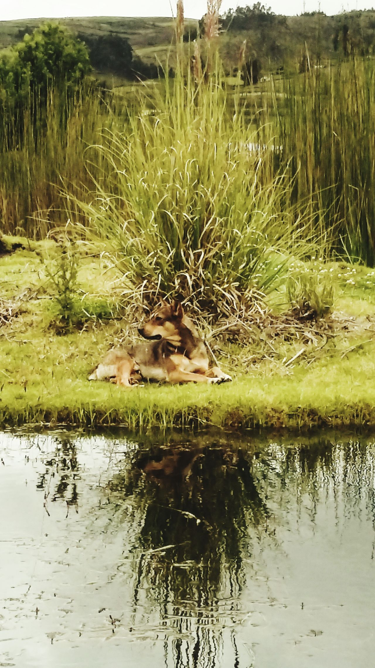 Dogs Dogs Of EyeEm Dog❤ DogLove Dogoftheday Dog Portrait Dog Photography Dogs Life Colta Coltaecuador Outdoors Grass Reflection Dogrelaxing