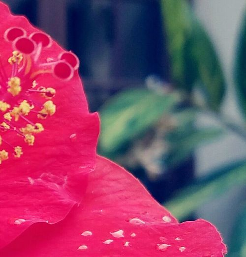 Kissed by Fairies Red Flowers Hibiscus 🌺 Red Flower Close-up Outdoors Beauty In Nature Nature Softness Focus Fuzzy Details In Close Up Rain Drops Vibrant Flowers Slow Down Outdoor Photography