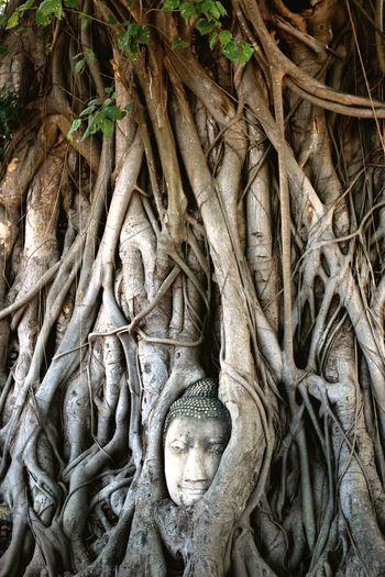 Buddha HEAD Giftofbirth Root Outdoors Ayutthaya | Thailand Tourist Travel Destinations