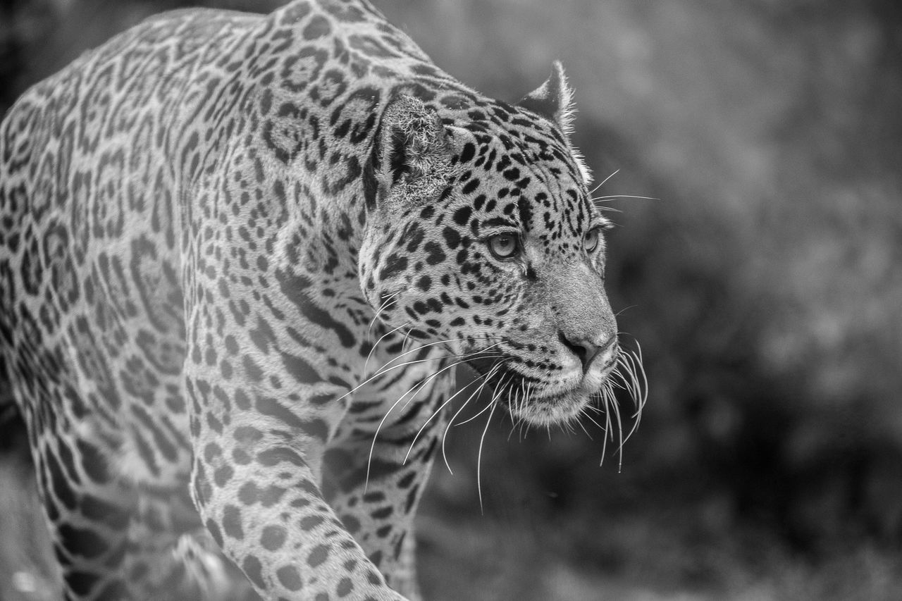 Beautiful stock photos of jaguar, Animal Markings, Animal Themes, Animal Wildlife, Animals In The Wild