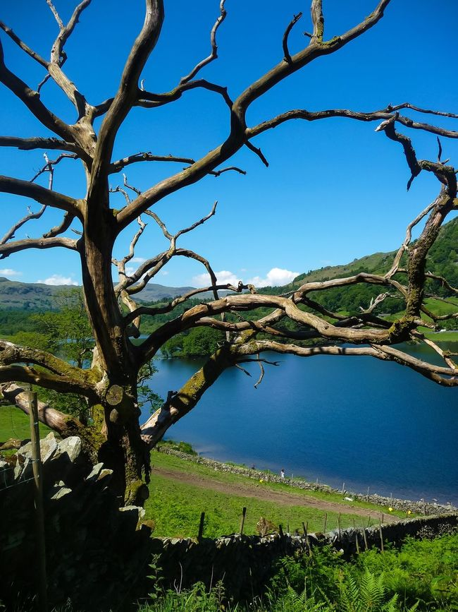 Tree Standing Proud At Rydal Water- The Lake District In Cumbria...x Tree Trees Lake Lake District Cumbria Rydal Water Blue Sky Branch Branches First Eyeem Photo