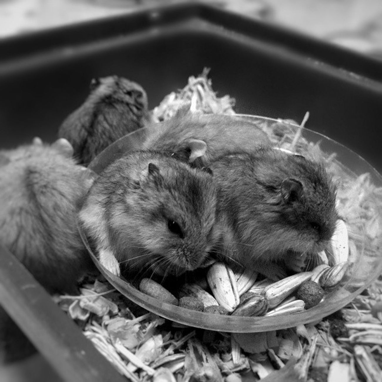 🐹🐹🐹🐹🐹 ... Morning Morningactivity POTD Thursday breakfast seeds nuts hamster hamsters babyhamsters babyanimals pet fluffy blackandwhite blackandwhitephotography colorless world_bnw bw_awards insta_bw bnw_planet ae_bnw bnw bnw_society bwstyles_gf bnw_diamond bnw_life rsa_bnw