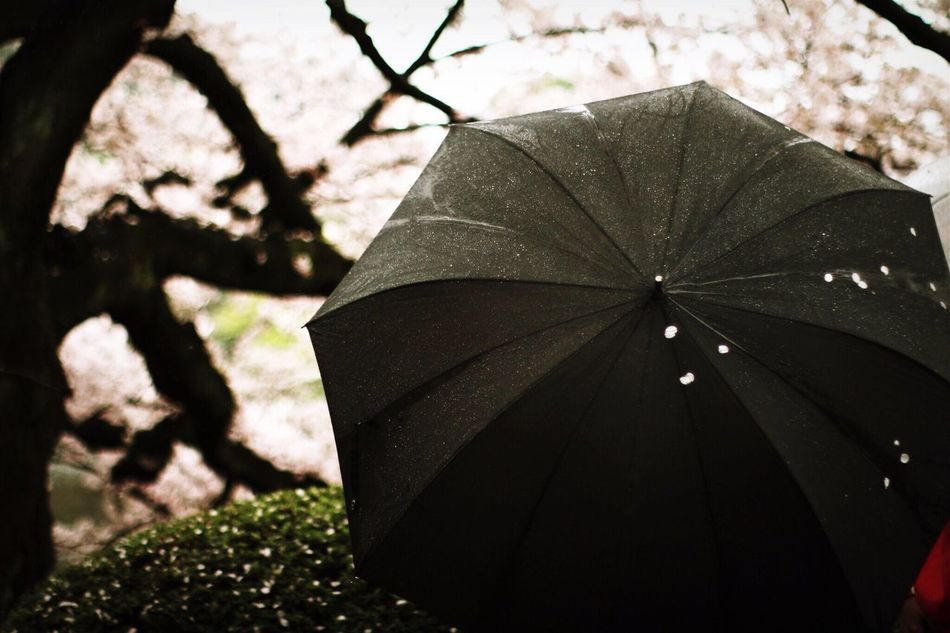 Light And Shadow Cherry Blossoms Spring Unbrella Rain
