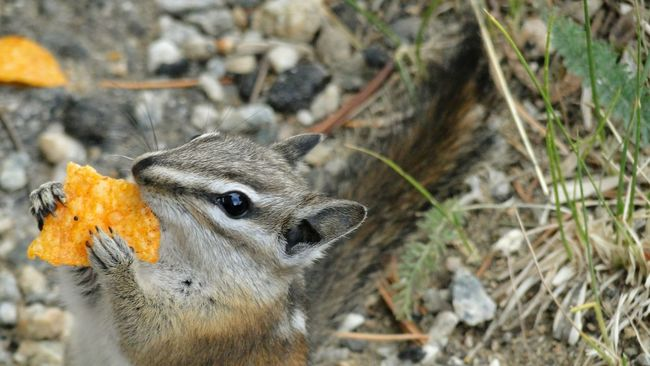 Chipmunk eating a chip Chipmunk Eating Chipmunk Eating Mount Rainer National Park Eating Chip Wildlife