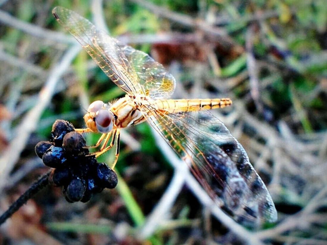Dragonfly Dragonflies Dragonfly_of_the_day I Found A Dragonfly. My Dragonfly Photo Dragonfly Nature Insects Nature Insects  Insect Photography Insect Insectagram First Eyeem Photo