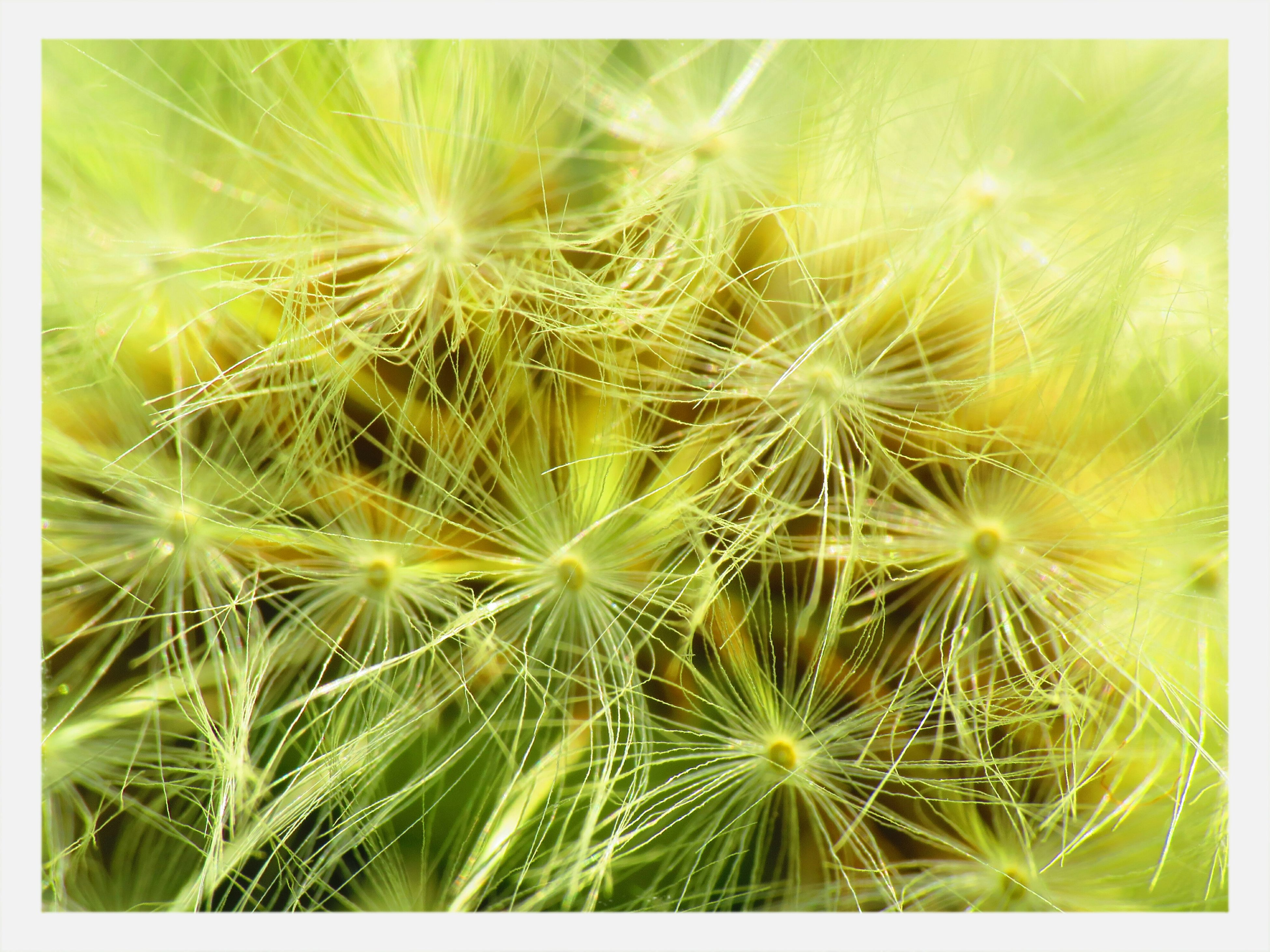 transfer print, growth, freshness, auto post production filter, nature, dandelion, close-up, full frame, beauty in nature, flower, fragility, green color, plant, backgrounds, uncultivated, flower head, day, no people, cactus, outdoors