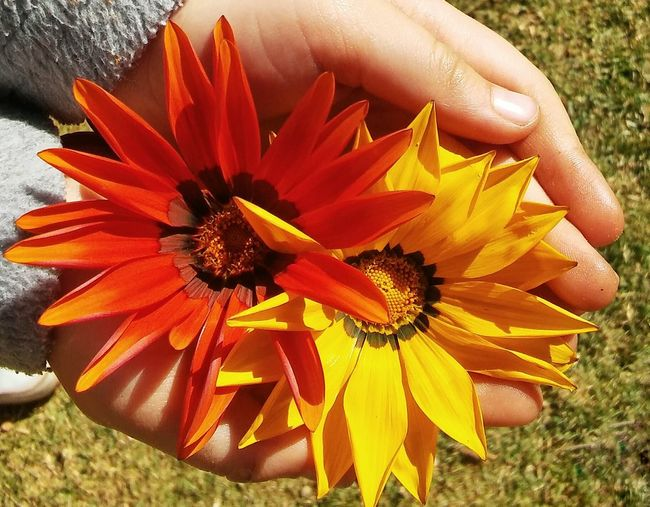 Burnt Orange and Yellow African Daisies held in Child's Hands
