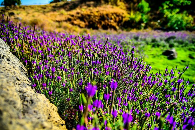 Flower Purple Nature Lavender Field Landscape Uncultivated Summer Beauty Botanical Garden Fresh Blooming Nature Pleasant Trekking Roadside Shots Nikon Lightroom Cc Fun Fort Check This Out EyeEm Nature Lover EyeEmNewHere Freshness Close-up