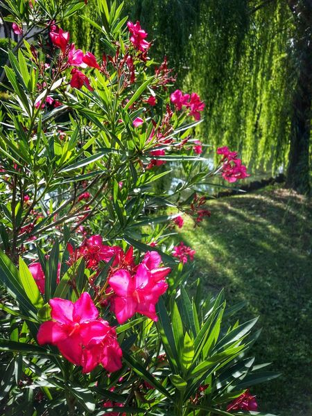 Treviso, Italy Travel Traveling Italy Treviso Photography Art Fineart Urban Landscapes Flowers Dark Pink