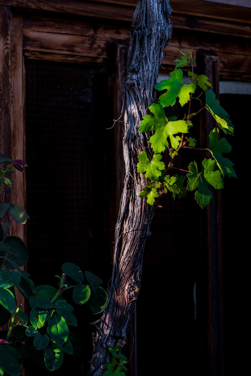 leaf, plant, growth, no people, nature, green color, architecture, tree, ivy, built structure, day, outdoors, close-up