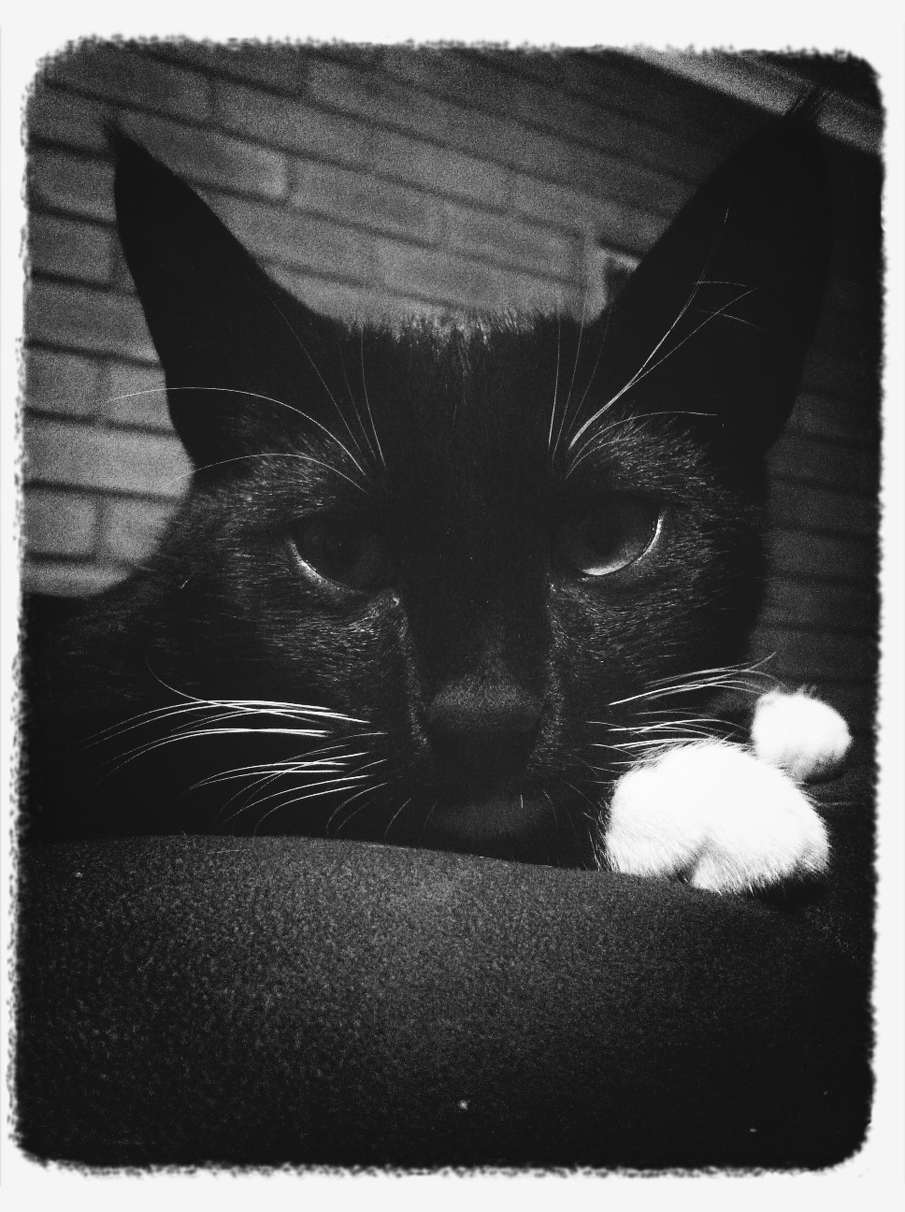 domestic cat, pets, domestic animals, animal themes, one animal, cat, feline, mammal, whisker, indoors, transfer print, relaxation, close-up, animal head, portrait, lying down, looking at camera, resting, auto post production filter, black color
