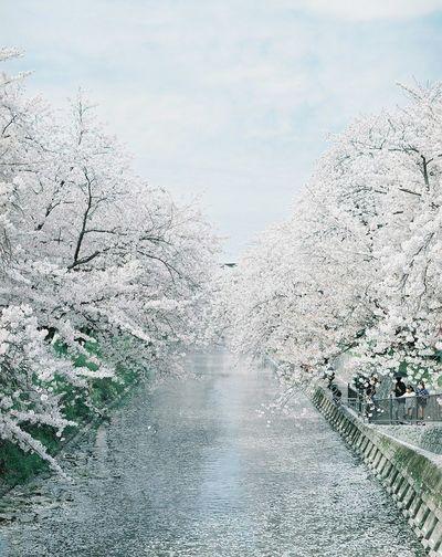 Film Mamiya RB67 Photography 120mm Film Camera Photo Nature Japan Cherry Blossoms
