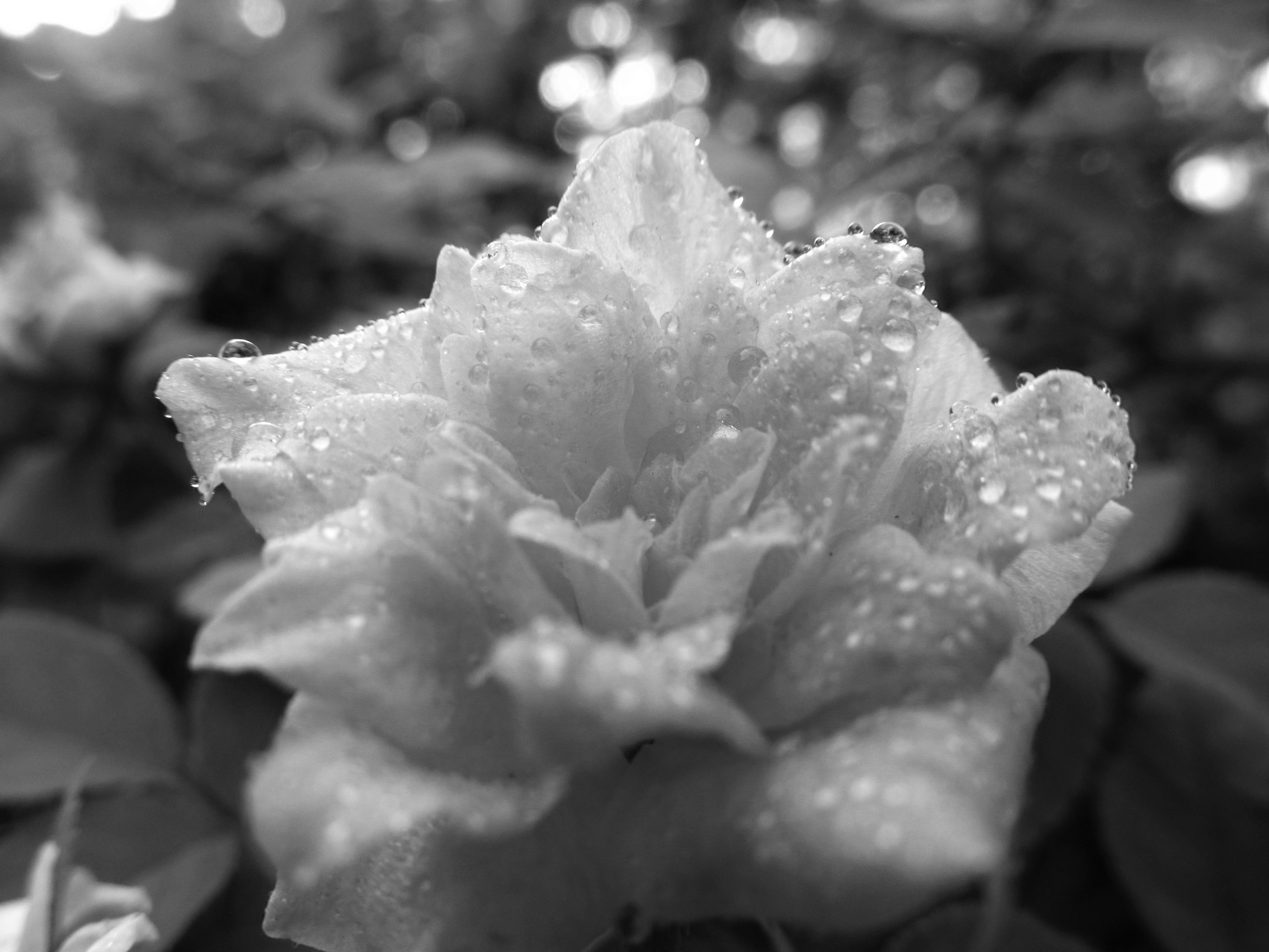 flower, fragility, freshness, close-up, drop, wet, beauty in nature, petal, water, growth, flower head, dew, selective focus, nature, in bloom, plant, extreme close-up, single flower, springtime, droplet, water drop, pink color, blossom, rose - flower, softness, day, botany, purity, growing, outdoors, soft focus