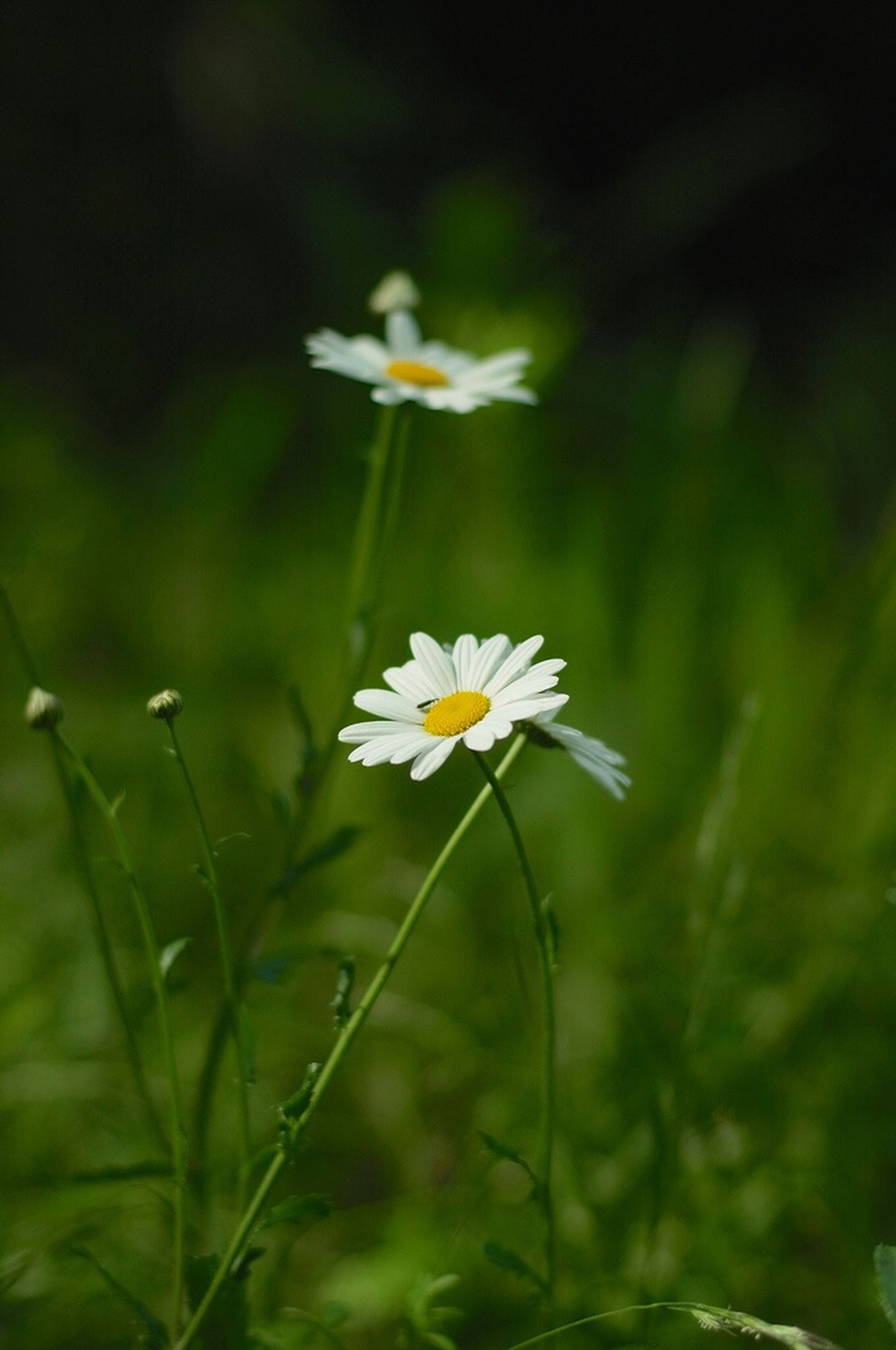 flower, freshness, petal, fragility, growth, flower head, beauty in nature, blooming, focus on foreground, white color, stem, daisy, nature, plant, close-up, field, pollen, in bloom, selective focus, single flower