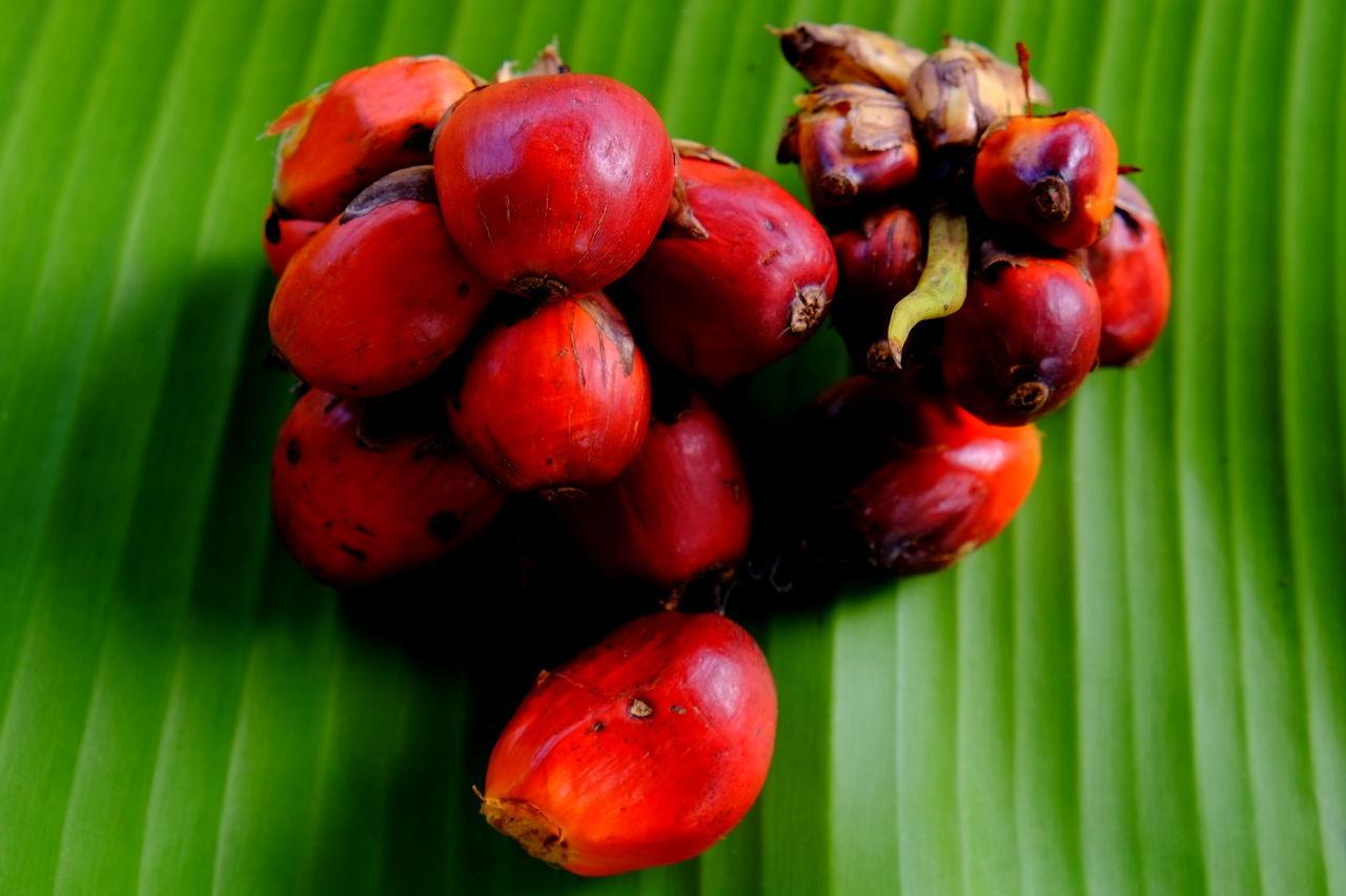 palm oil fruit Nature Plant Plants 🌱 Freshness Growth Nature_collection Palm Oil Palm Oil Fruit Palm Oil Plantation