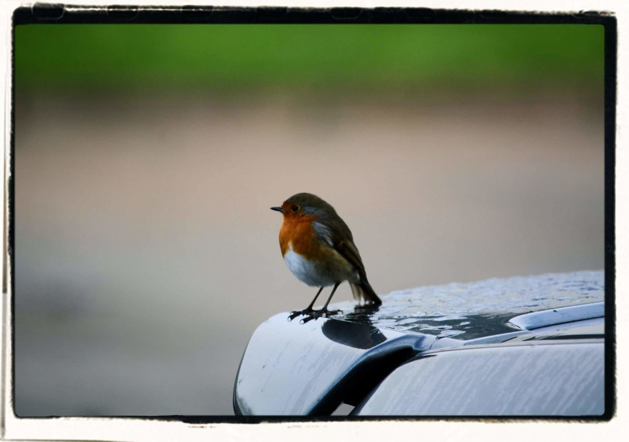 one animal, animals in the wild, animal themes, bird, perching, animal wildlife, day, no people, outdoors, nature, robin, close-up