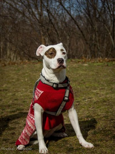 Dog One Animal No People Pets Close-up Night Outdoors Grass Pet Clothing Pitbull Mammal Animal Themes Sweatervest PitBullNation Pitbullsofinstagram Focus On Foreground Animal Wildlife Nature White Color Day Domestic Animals Pitbull Love Cloud - Sky Field