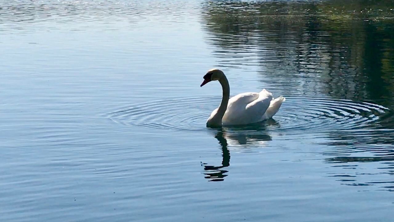 animals in the wild, animal themes, lake, one animal, bird, swimming, waterfront, reflection, animal wildlife, water, no people, day, water bird, nature, outdoors, swan, beauty in nature, spread wings