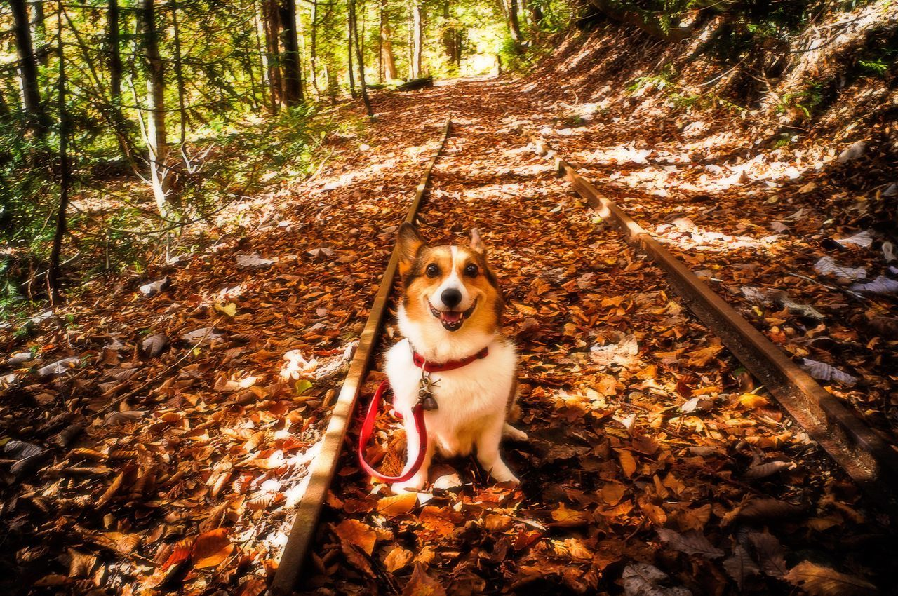 Fallen Leaves Woods Exploring Smile SMILY FACE Dog Dog Portrait Corgi Welsh Corgi Pochiko Railway Discontinued Railway Ricoh GXR Gxrmounta12 Super Angulon 21mm F/3.4 Yagen Mutsu Aomori Japan Memories Mementos
