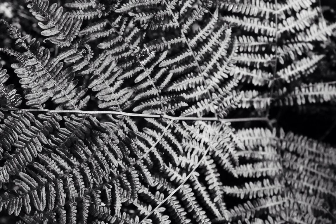 Ferns in black and white Backgrounds Full Frame No People Pattern Close-up Textured  Indoors  Day Silver  Silver Fern Scotlandsbeauty Beauty In Nature Leaves Blackandwhite Blackandwhite Photography Plant Nature Photography Glen Affric Scotland