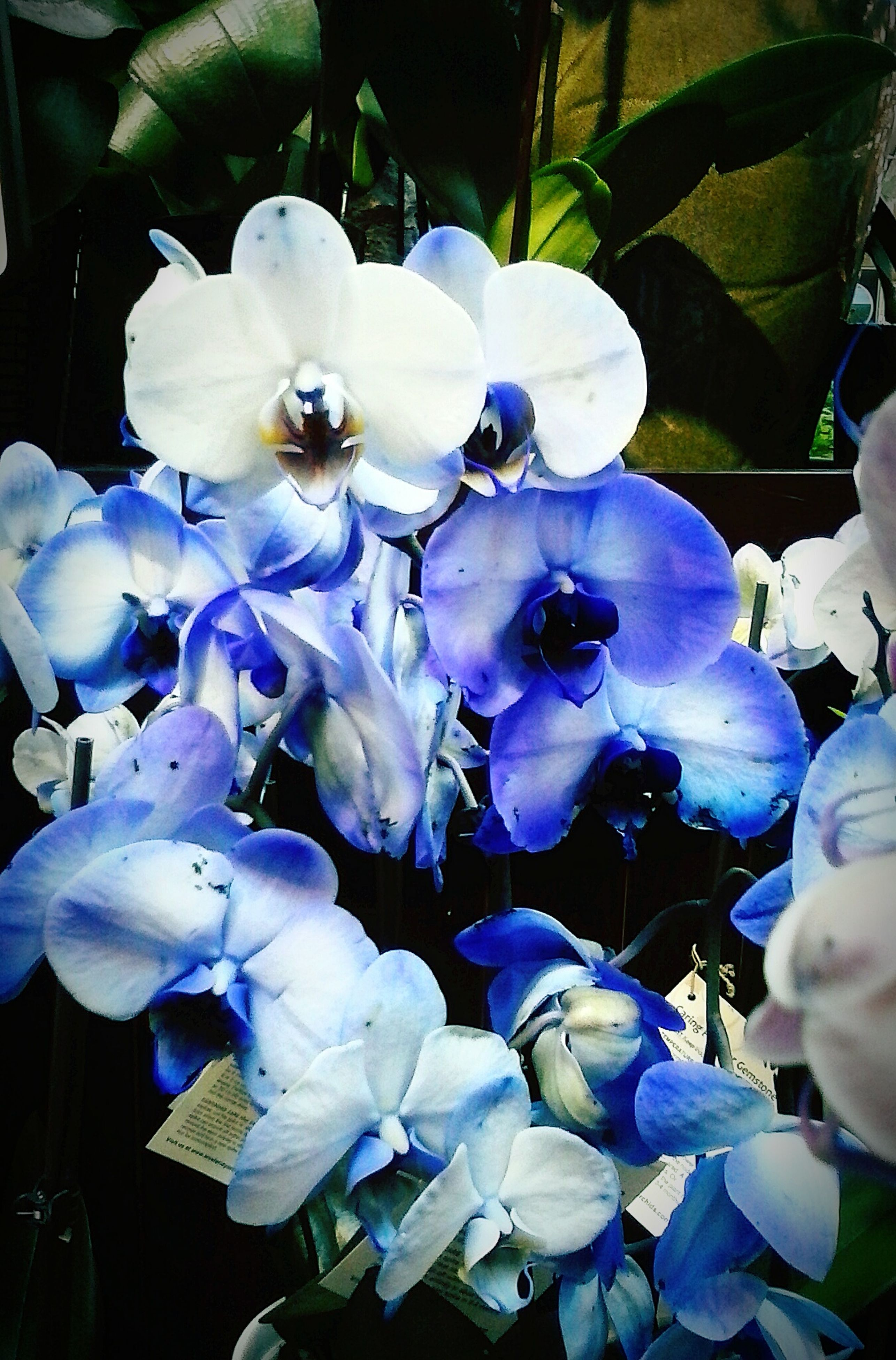 flower, petal, fragility, freshness, flower head, purple, growth, beauty in nature, close-up, orchid, blooming, hydrangea, nature, white color, plant, high angle view, focus on foreground, park - man made space, in bloom, blue