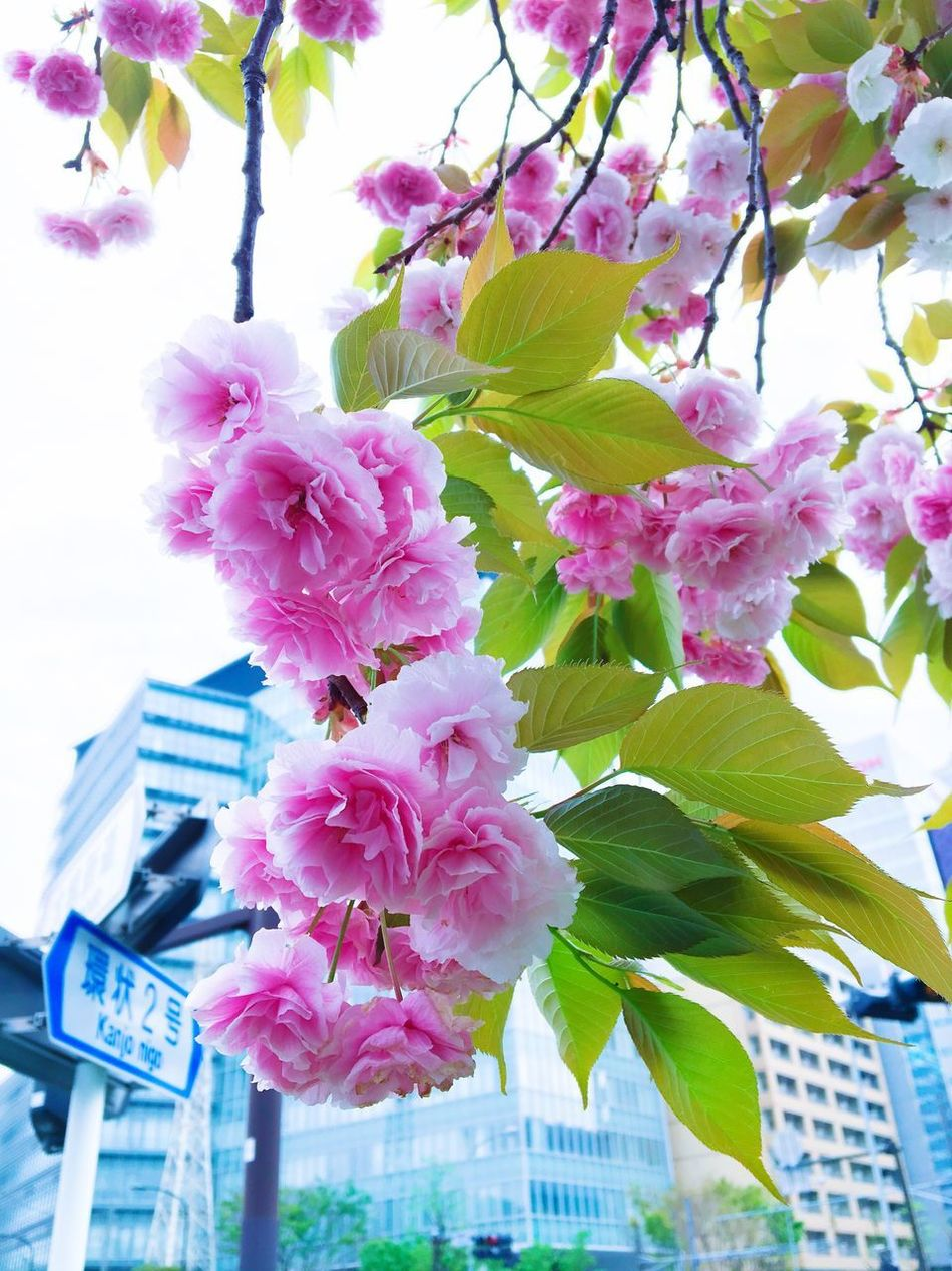 Sakura Flower Growth Beauty In Nature Fragility Pink Color Blossom Petal No People Tree Building Exterior Nature Low Angle View Freshness Branch Day Springtime Blooming Outdoors Architecture Flower Head EyeEmNewHere