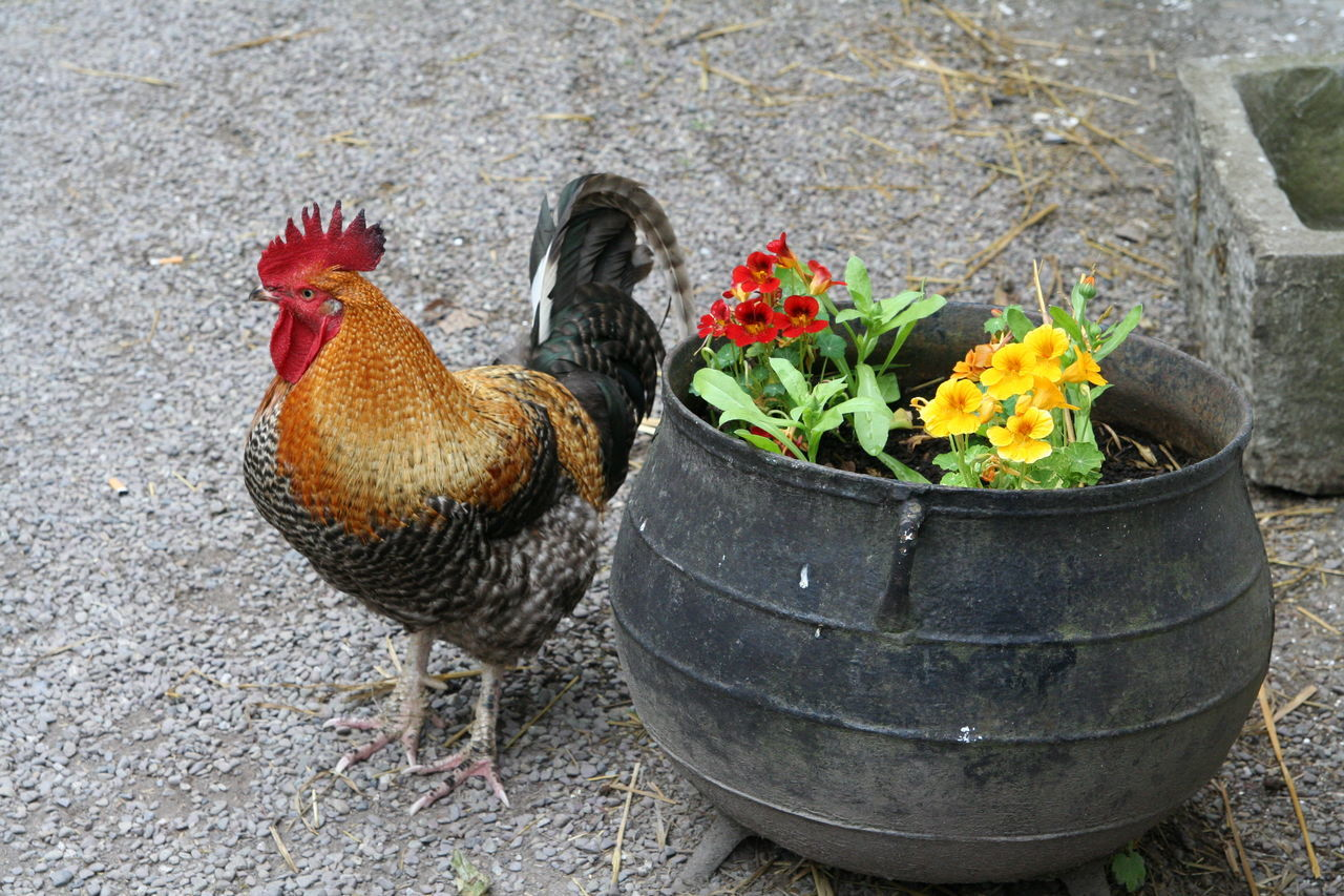 Close-Up Of Rooster By Flower Pot