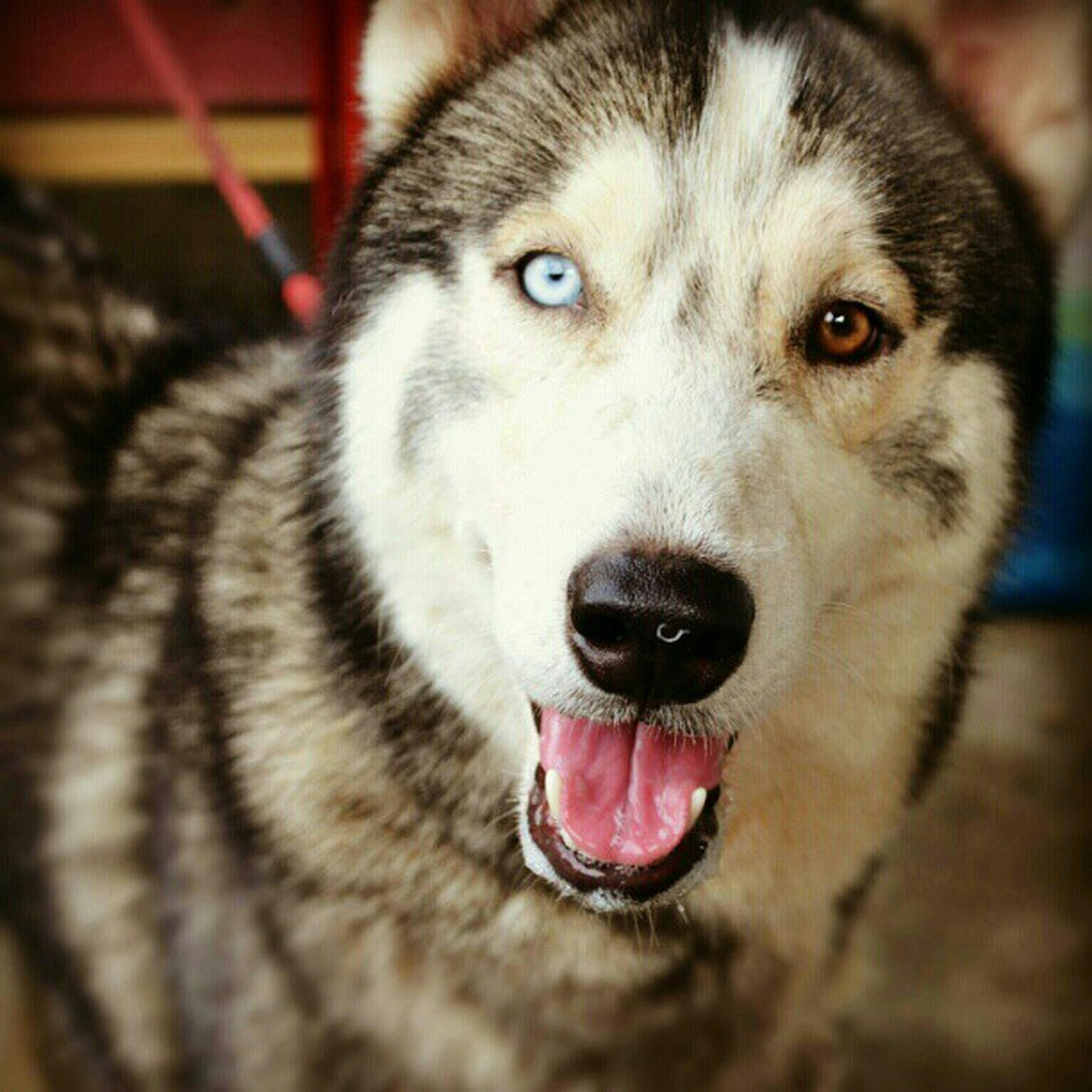 Hunter! Siberianhusky Dogstagram Doglust Dailyinstagram photooftheday