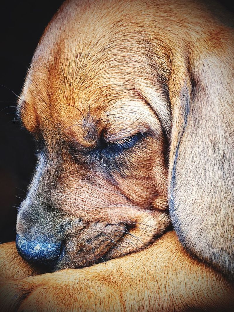 Puppy❤ Sleeping Puppy Animal Hound Puppy Close-up