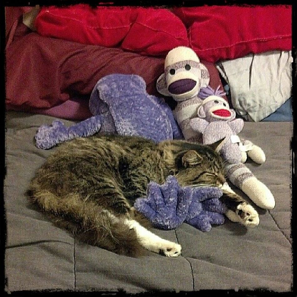 Gunner Sleeping on my Purple stuffed animals. Purplefrog Purplesockmonkeys Ilovepurple Ilovesockmonkeys Sockmonkeysforever Purpleforever Purpleobsession Purpleaddiction Sockmonkeys Hashtagaddiction Pixlromatic Cats Meow Kitty Portorchardwashington DroidRazr