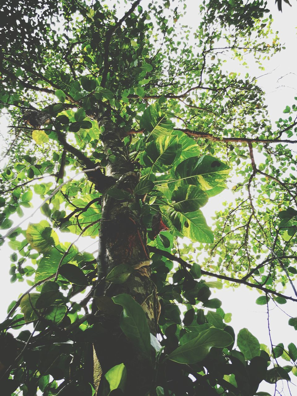 tree, growth, low angle view, nature, branch, leaf, no people, green color, day, plant, beauty in nature, fruit, outdoors, hanging, freshness, close-up