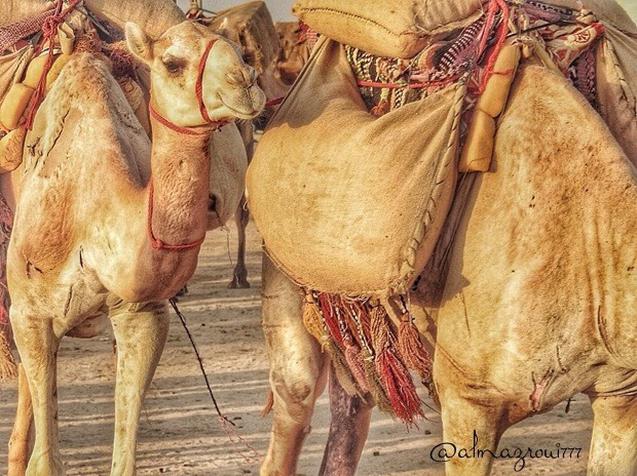 animal themes, domestic animals, market, mammal, no people, outdoors, desert, day, close-up