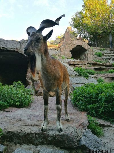 Animal Themes One Animal No People Nature Nature Beauty In Nature Animalphotography Animales Mammal Goat Goats Goat Life