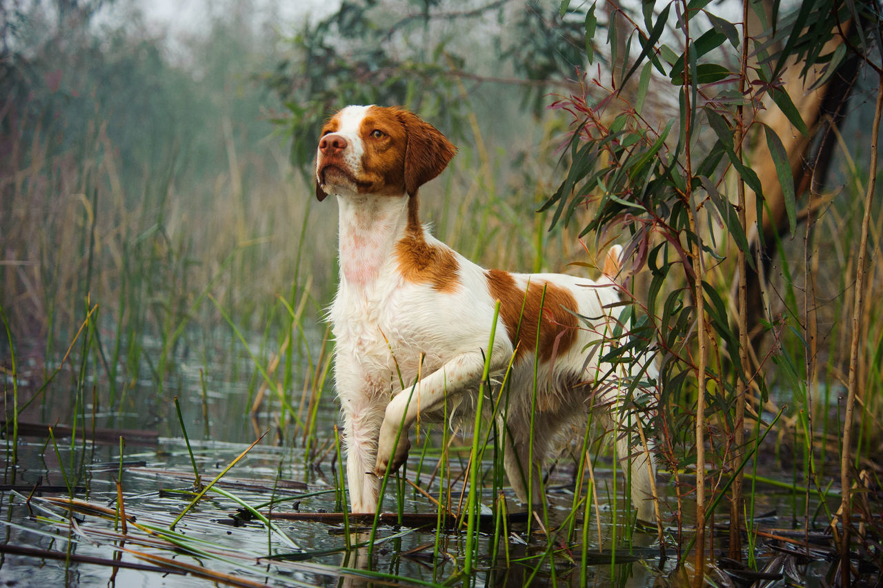 Beautiful stock photos of jagd, Alertness, Brittany Spaniel, Concentration, Dog