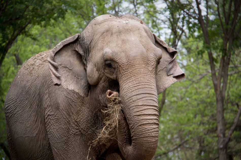 Snack time! Animal Wildlife Elephant Animals In The Wild Animal Tree One Animal Mammal Animal Trunk Tusk Safari Animals Nature Outdoors Forest No People Day Animals Animal Head  Animal Photography Animal Themes Close-up Beauty In Nature Asian Elephant
