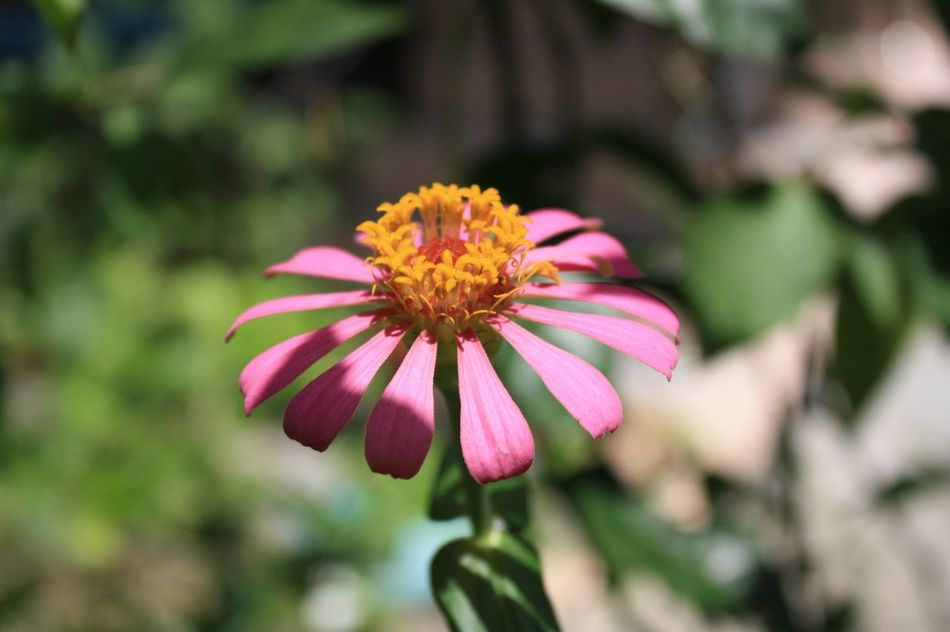 Flower Beauty In Nature Pink Color Nature Flower Head Canon😉 Phuket Thailand🇹🇭